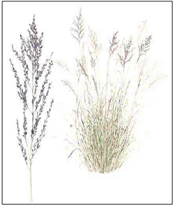 African Lovegrass
