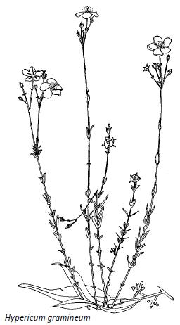 Hypericum gramineum